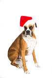 Boxer Dog in Santa Hat. Boxer dog laying down sitting a Santa hat Stock Photo
