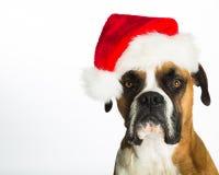 Boxer Dog in Santa Hat. Boxer dog wearing a Santa hat royalty free stock image