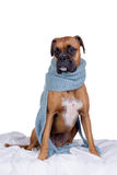 Boxer dog with scarf Stock Images