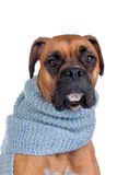 Boxer dog with scarf Stock Photos