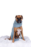 Boxer dog with scarf Stock Photo