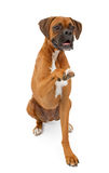 Boxer Dog Shaking Hands. A large Boxer breed dog against a white background extending his paw to shake hands Stock Photography