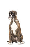 Boxer dog sits and looks into the distance. He is sad stock images