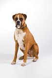 Boxer dog sitting. Three quarter position, studio portrait Royalty Free Stock Images