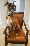 Boxer dog sitting on a chair stock photos