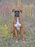 German Boxer Dog, male sitting in field by colorful grasses. Boxer Dog sitting in grass, portrait, autumn colors, looking towards camera Stock Photos