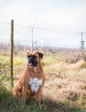 Boxer Dog. Sitting in grass by wire fence royalty free stock photo