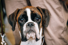 Boxer Dog Sitting near Owner. The Boxer is a breed of medium-sized, short-haired dogs developed in Germany stock photo