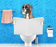 Boxer dog sitting on a toilet seat with digestion problems or constipation reading magazine or newspaper. Boxer dog sitting on a toilet seat with digestion Royalty Free Stock Photos