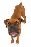 Boxer Dog Skinny Royalty Free Stock Images