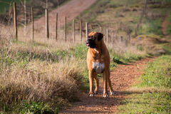 Boxer Dog. Standing on gravel road royalty free stock images