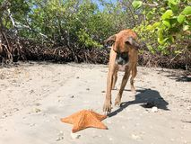 Dog pawing at starfish cushion sea Star on the sand Stock Image