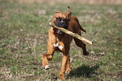 Boxer dog and stick Royalty Free Stock Photos