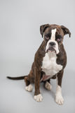 Boxer dog in a studio Stock Photography