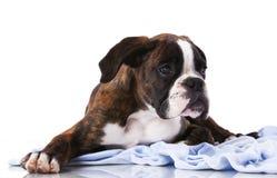 Boxer dog at studio Stock Photo