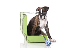 Boxer dog at studio. Boxer dog ready to travel stock image