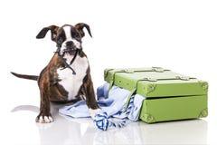 Boxer dog at studio. Boxer dog ready to travel stock photo
