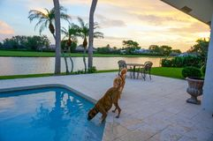 Dog drinks out of a swimming pool at sunset with palm trees Royalty Free Stock Photo