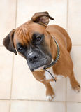 Boxer dog waiting for a treat Stock Photos