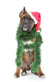 Boxer dog waits for the holiday Royalty Free Stock Images