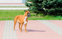 Boxer dog waits. . royalty free stock images