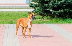 Boxer dog waits. . Royalty Free Stock Images