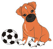 Boxer dog want play to football Stock Photo