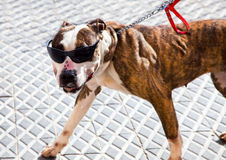 Boxer dog wearing black sunglasses Royalty Free Stock Images
