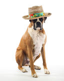 Boxer Dog Wearing a Panama Hat. Looking for trouble Royalty Free Stock Photo