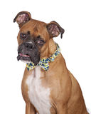 Boxer Dog Wearing Plaid Tie Stock Photography