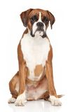 Boxer dog on white background. Young Boxer dog sits on white background Royalty Free Stock Photos