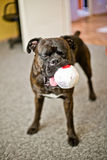 Boxer Dog With A Bal Stock Photography