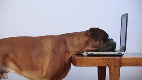 Boxer dog working on laptop. Boxer dog barking on the laptop stock video