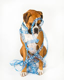 Boxer dog wrapped in blue ribbon. With snow flakes stock images