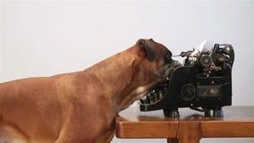 Boxer dog writing on vintage typewriter. Boxer dog pushing keys on vintage typewriter stock video