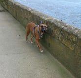 Boxer dog trotting along sidewalk pavement Stock Photos