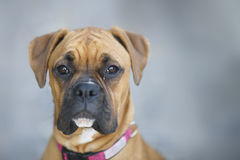 Boxer Dog Stock Photos