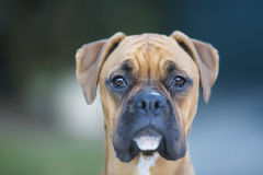 Boxer Dog. Young Boxer dog close up Royalty Free Stock Images