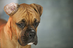 Boxer Dog Royalty Free Stock Photography