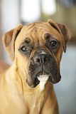 Boxer Dog. Young Boxer dog close up Royalty Free Stock Photo