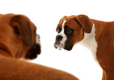Boxer Dogs. This is a photo of 2 boxers dogs, Mother and child. The child is looking into her mothers eyes Royalty Free Stock Photo