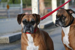Boxer Dogs Royalty Free Stock Photography