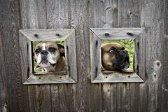 Boxer Dogs. Two boxer dogs sticking their head through a hole in a fence Royalty Free Stock Images