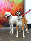 Boxer dogs Stock Photo
