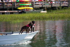 Boxer Dogs On A Boat Royalty Free Stock Images