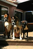 Boxer Dogs Looking Down. Close up of three boxer dogs looking down Royalty Free Stock Photos