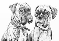 Boxer dogs pencil drawing. Pencil drawing of two boxer dogs Royalty Free Stock Photos