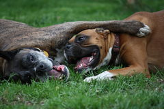 Boxer dogs playing. On lawn Stock Images