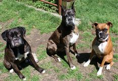 Boxer dogs playing Royalty Free Stock Photo