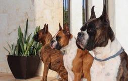 Boxer Dogs stock photos
